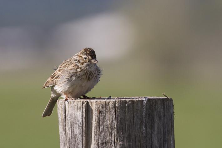061611_sparrow