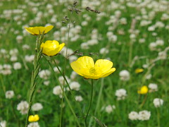 Buttercup (Alex Staniforth: Wildlife/Nature Photography) Tags: flowers summer alex buttercup casio staniforth exfh20