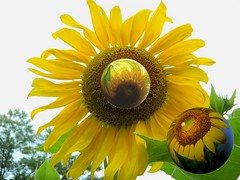 Hybrid chat! (Song_sing) Tags: flowers reflection fun nikon abstractart amazingcircles sphere sunflower songsing