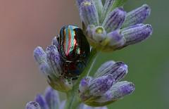 tui 020711 023 g (Klukkert) Tags: macro insect lavender kever lavendel coleoptera chrysolinaamericana nikkor105mmf28gvrmicro nikond7000