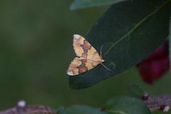Barred Yellow (Dr Wood's Wildlife Photos) Tags: moth geometridae broxburnacademy barredyellow cidariafulvata