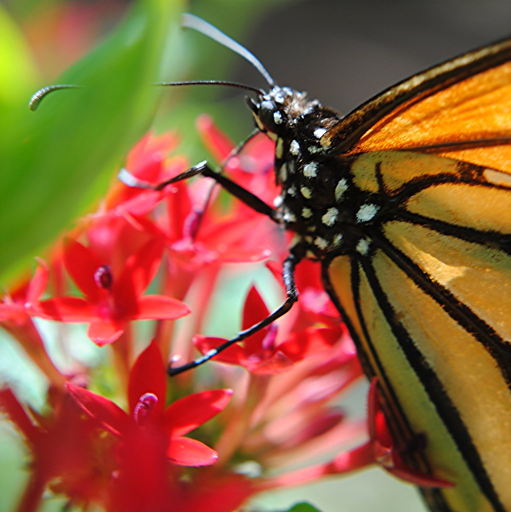 Sitting in a Penta flower with a Monarch Butterfly