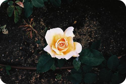 florals rose round