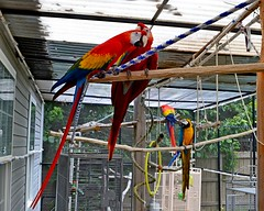 Lucy, Ruby Shasta and Doby (RLBrinkman~in and out-mostly out) Tags: birds aviary pars macaws