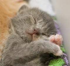 20110702_14539b (Fantasyfan.) Tags: sleeping baby cute topv111 cat paw furry topv555 topv333 kitten gray adorable fluffy tired topv777 oblivion fantasyfanin unohdus highqualityanimals siirretty