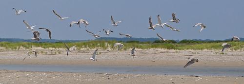 Gulls (2)