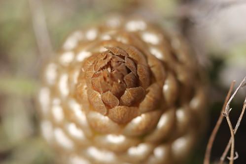 leuzea conifera, seen from top