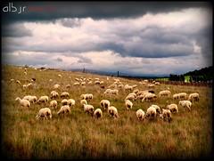 Cada oveja con su pareja (Alberto Jiménez Rey) Tags: sky grass clouds sheep pareja group cada alberto cielo manuel nubes rey grupo su con oveja conjunto hierba rebaño jimenez albjr albjr7