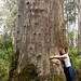 e seu tronco pode pesar 150 toneladas