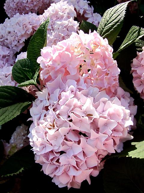 gardenia pink