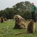 Michelle no meio de centenas de Gelada Baboons