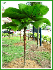 Landscaping with Licuala grandis (Vanuatu Fan Palm, Ruffled Fan Palm, Palas Payung) at HUKM, KL