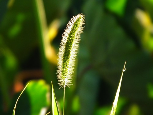 Foxtails in the morning sun