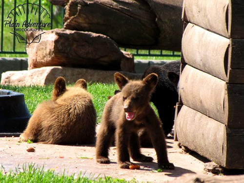 Baby Black Bears