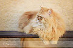 Happy Bench Monday (dhmig) Tags: nature animal cat bench relax 50mm nikon sitting outdoor catportrait longhaircat lulo nikond7000 dhmig dhmigphotography