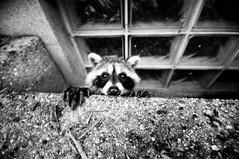 attack (j / f / photos) Tags: deleteme5 wild deleteme8 deleteme deleteme2 deleteme3 deleteme4 deleteme6 deleteme9 deleteme7 window animal saveme suburban deleteme10 raccoon