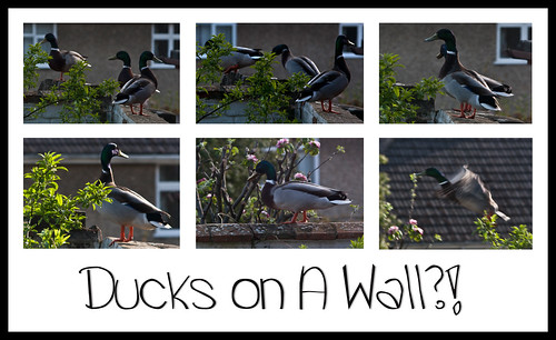 Ducks on a Wall - Copyright R.Weal 2011