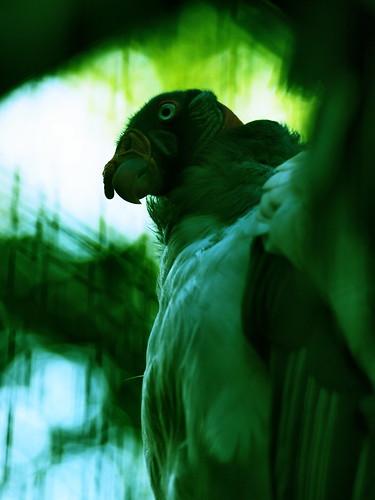 上野動物園 トキイロコンドル