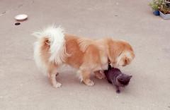 dog cat 1974 illinois huntington pekinese spencer fifi peoria huntingtondrive
