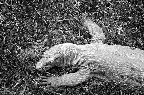 columbus ohio bw zoo reptile monitor lizard 2011