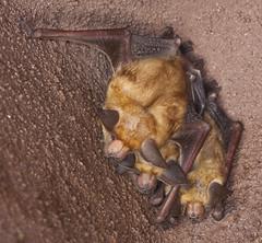 Pallid Bat (Antrozous pallidus) taken at the San Luis Obispo Botanical Garden, San Luis Obispo (Donald Quintana) Tags: animal mammal foot flying wings bat thumb botanicalgardens isolated sanluisobispo hangingout mammalia insectivore ratwithwings chiroptera echolocation pallid pallidus antrozous