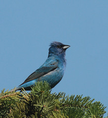 Indigo Bunting - Male (prairiedog (in and out)) Tags: male bird nature birds wildlife indigo manitoba prairie bunting englishgardens indigobunting