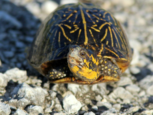 Florida Box Turtle (Terrapene carolina bauri) 20110721