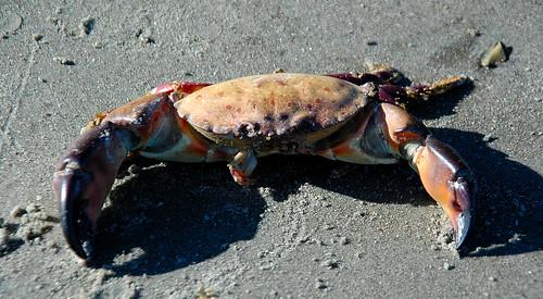 Crabby Beachcomber