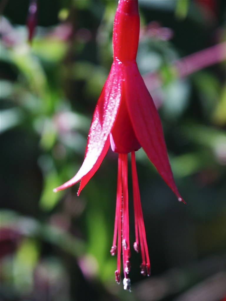 Fushia in the sun
