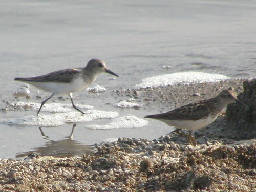 Semipalmated and Least Sandpiper