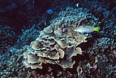 Comoros: wrasse with rose coral