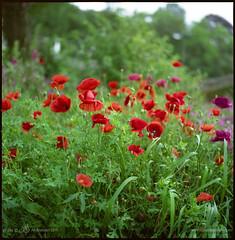 poppies (nils ) Tags: red 120 6x6 grass mediumformat fuji hasselblad nils poppy poppies 500c pro epson fujifilm gras rood a12 klaproos planar 80mm rollfilm fujicolor klaprozen epson4490 4490 planar80mm  160c h08212
