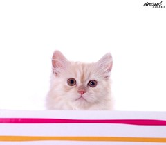 Sugar.. ( Anoud Abdullah AlHabib) Tags: lighting baby cat canon studio eos 50mm sugar 500d my