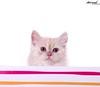 Sugar..♥ ( Anoud Abdullah AlHabib) Tags: lighting baby cat canon studio eos 50mm sugar 500d my