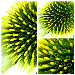 Echinacea (Foto.Maven) Tags: flowers flower green yellow square echinacea fresh normal diptic garrettpark iphoneography garrettparkmaryland