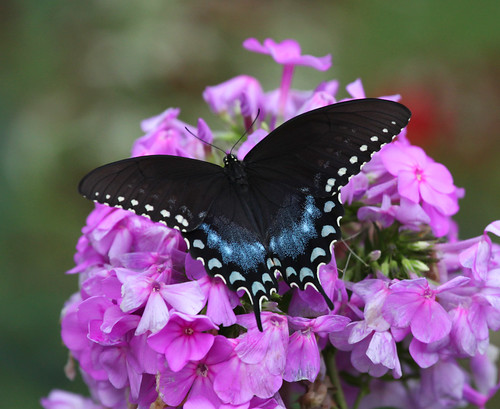Spicebush Swallowtail On Phlox by JKissnHug