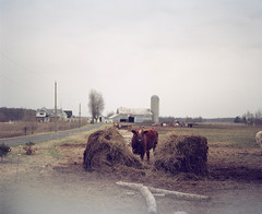 Chesterville ON (Jeremy Griffin) Tags: film cow farm pentax67 kodakportra160nc autaut chestervilleont