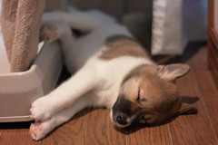 [Free Image] Animals, Mammalia, Dog, Puppy, Sleeping, 201108021100