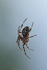 Spider (violetflm) Tags: insect spider native july il cbg d300s 45orless d3s5780