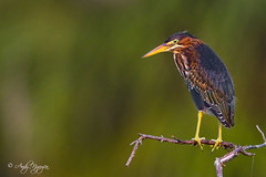The Poser (Wild Wings Photography) Tags: wild green bird heron nature island hand florida background clean held merritt nwr 400mm
