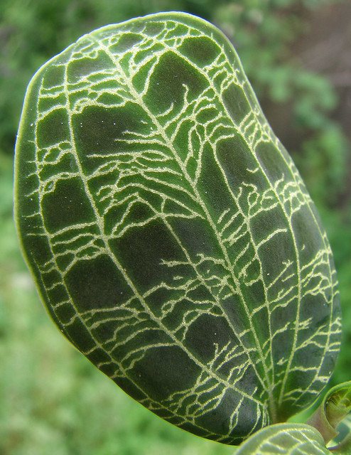 Macodes Petola Rare Jewel Orchid Species Easy Great For Terrarium Or