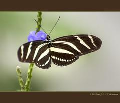 Schmetterling ... Zoo Krefeld  #1 (nigel_xf) Tags: butterfly nikon nigel schmetterling d300 zookrefeld nikond300 nigelxf