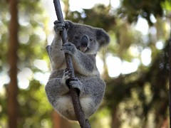 360-Part1 (7) (Mars-Flash) Tags: animal landscape background australia koala australien marsupial australie coala austrlia  australi   beuteltier   marsupiale  ausztrlia austrlie    torbacz buideldieren koalabeer halvapa  mikoala  ersznyes vanatec pussielin    naturalandtexture