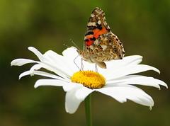 Distelfalter-Vanessa cardui (Karabelso) Tags: white flower macro yellow butterfly blossom sony gelb blume makro blte schmetterling weis