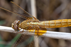Dragonfly (Sympetrum fonscolombii) (S_end) Tags: macro insect dragonfly darter meadowhawk sympetrum redveined fonscolombii canonmpe65
