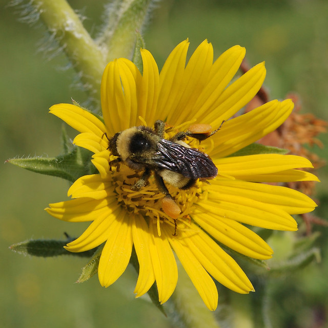 Bee on flower at Shaw Nature Reserve