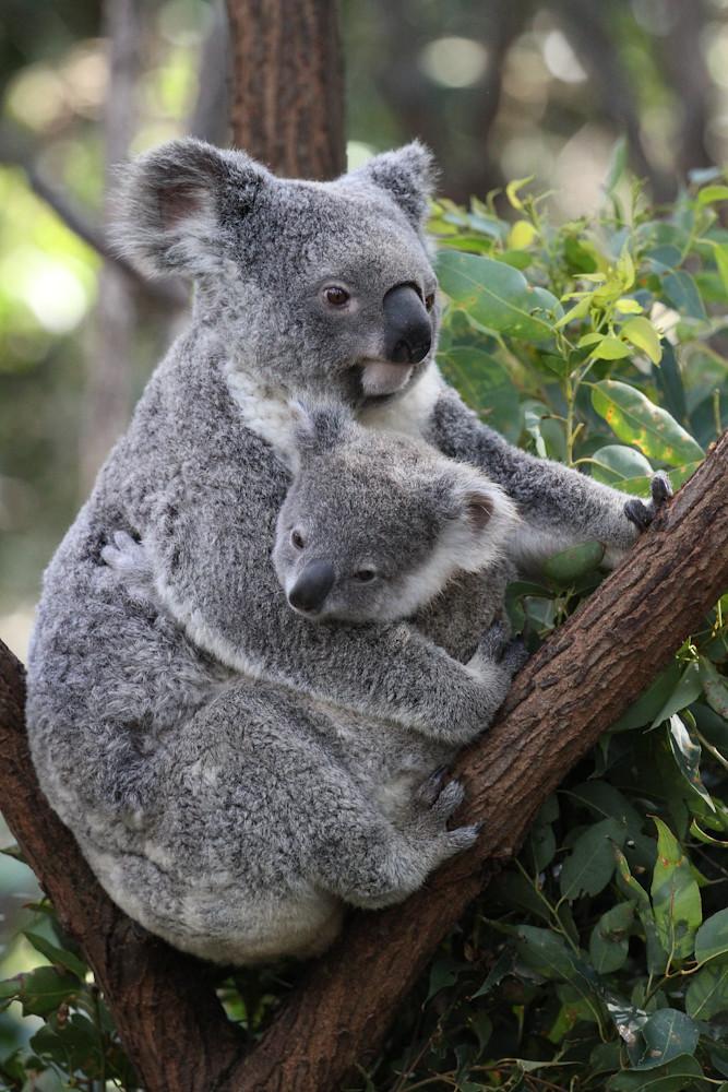 Koala upb
