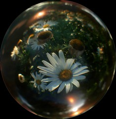 daisies in the ball (april-mo) Tags: nature sphere crystalball crystalclear crystalballphotography
