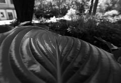 the big leaf (luca19632 - Luca Cortese) Tags: bw blackwhite leaf italia milano bn foglia botanicalgarden biancoenero feuille brera ortobotanico