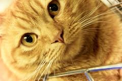 180.365 (gavin.hoskins) Tags: orange cat canon nose eos eyes kitten feline kitty whiskers 365 arfur 60d